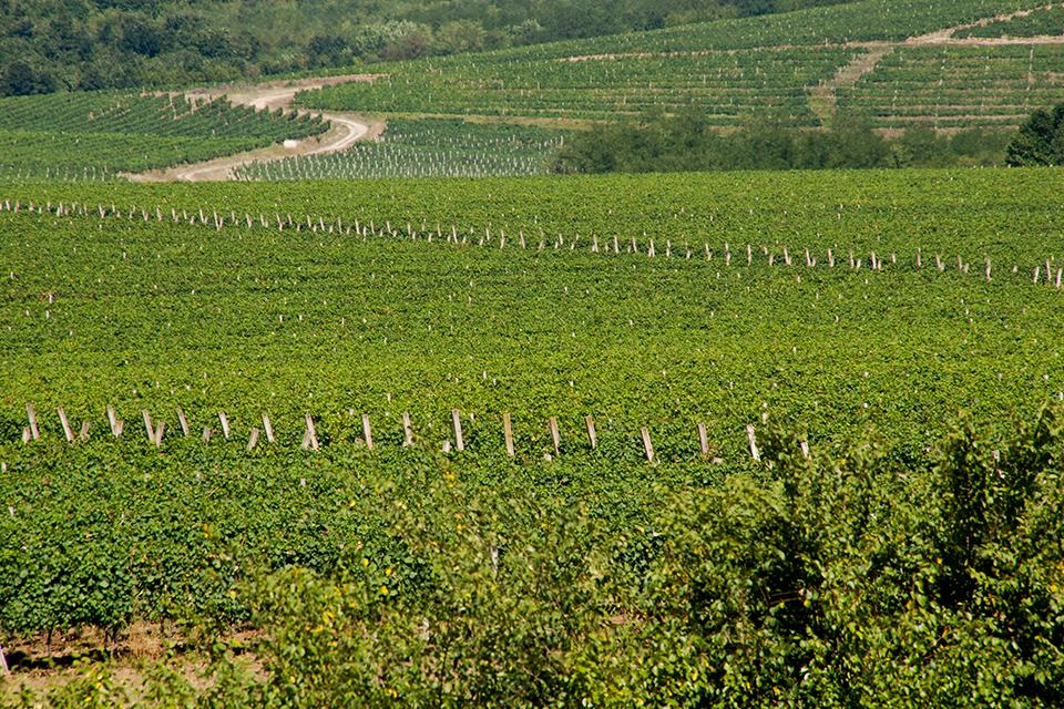 Rubin | Vinogradi